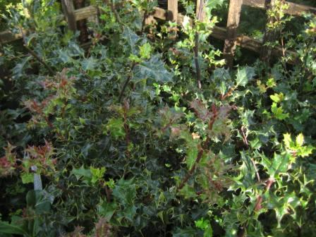 Holly_Hedging_Plants