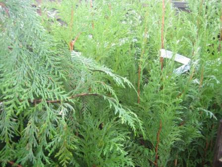 Thuja_Hedging_Plants